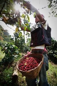 harvesting red coffee cherries