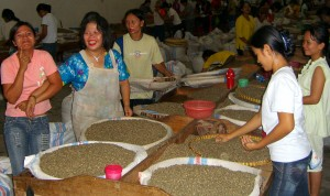 hand sorting dried washed coffee direct trade