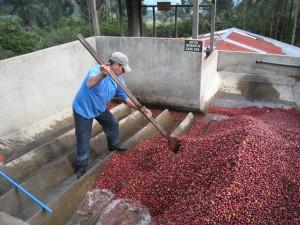 washing coffee cherries wet mill beneficio direct trade