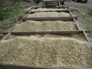 raised african coffee dried micro lot fratello direct trade