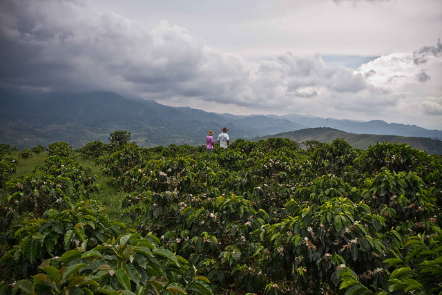 colombian huila suaza sauza fratello coffee direct trade