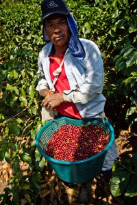 Costa Rica red coffee cherries direct trade