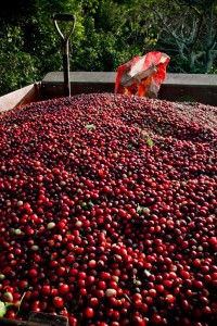 Costa Rica Red Coffee Cherries Tarrazu