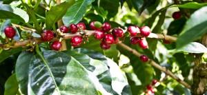Panama Boquete Geisha Finca Mama Cata Coffee Cherry