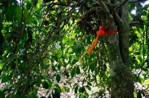 Geisha coffee tree Panama