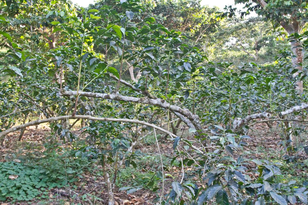 El Salvador Agobio Para Pruning direct trade fratello