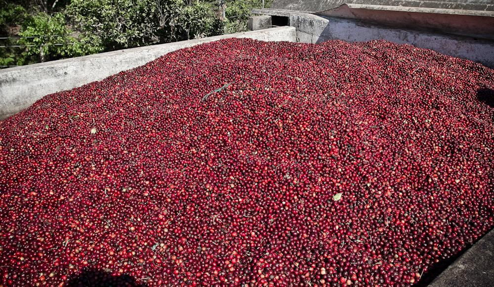 Guatemala coffee red cherries direct trade fratello