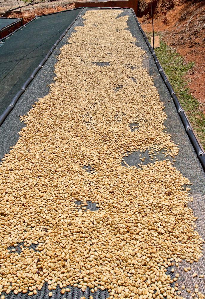 Costa Rica Santa Rosa Direct Trade sun dried coffee