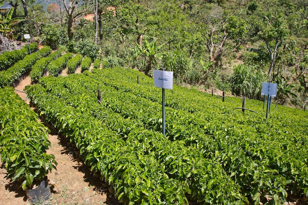 Costa Rican La Lia micro-mill nursery
