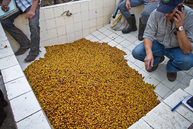 Guatemala Finca El Socorro wet mill Yellow Caturra