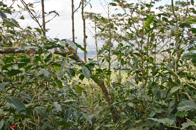 El Salvador Malacara B tree bending  pruning Agobio Para