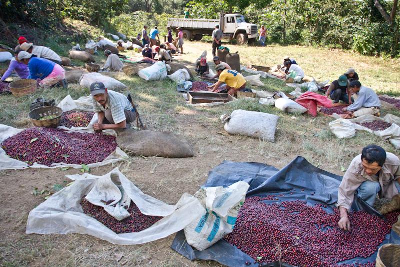 El Salvador Malacara B sorting red cherries
