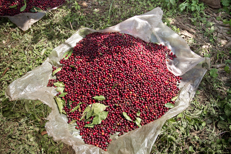 El Salvador Malacara B Red coffee cherries